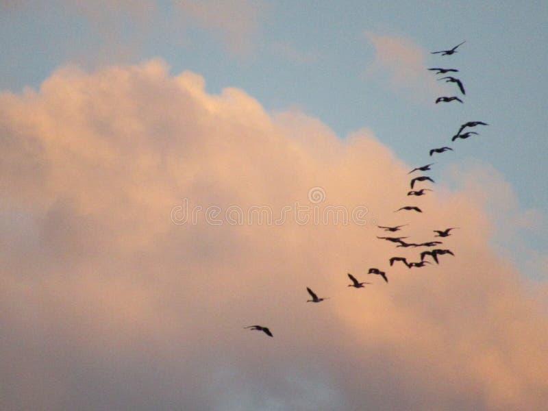 Pájaros que se reúnen en el cielo de la mañana foto de archivo