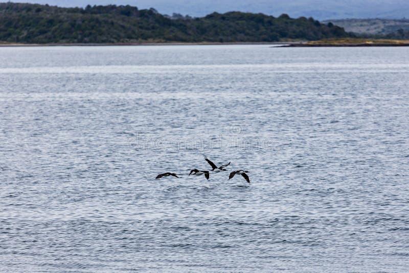 Pájaros que vuelan apenas sobre las aguas heladas alrededor de Isla Martillo, Pat foto de archivo libre de regalías