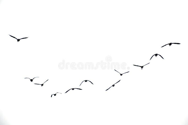 Pájaros que vuelan en cielo cubierto imágenes de archivo libres de regalías