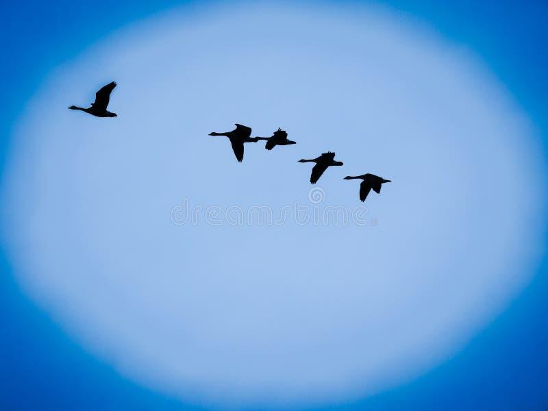 Pájaros que vuelan en el cielo azul del claro de luna fotografía de archivo libre de regalías