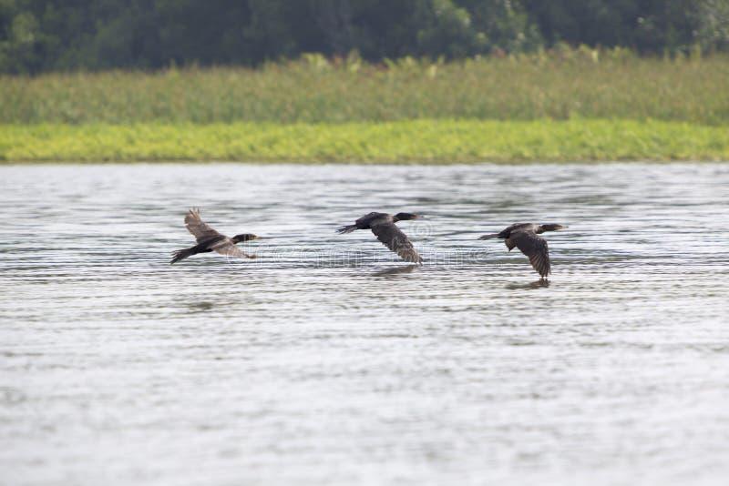 Pájaros que vuelan en fila en el lago de Maracaibo, Venezuela imagenes de archivo
