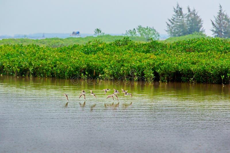 Pájaros que vuelan en Xuan Thuy National Reserve, Namdinh, Vietnam imagen de archivo libre de regalías