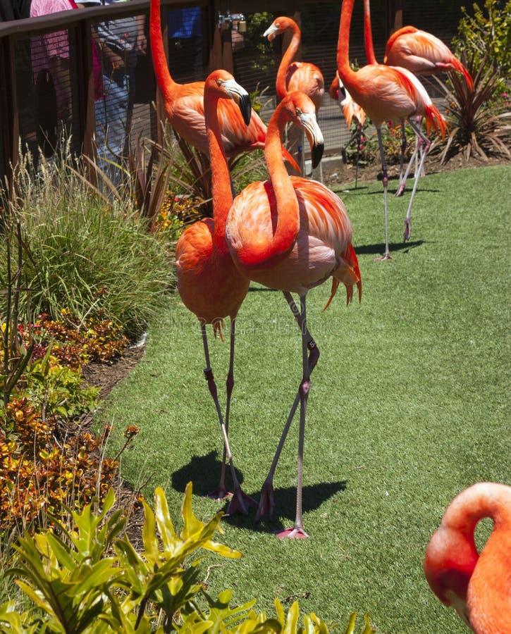 Pájaros rojos brillantes del flamenco foto de archivo