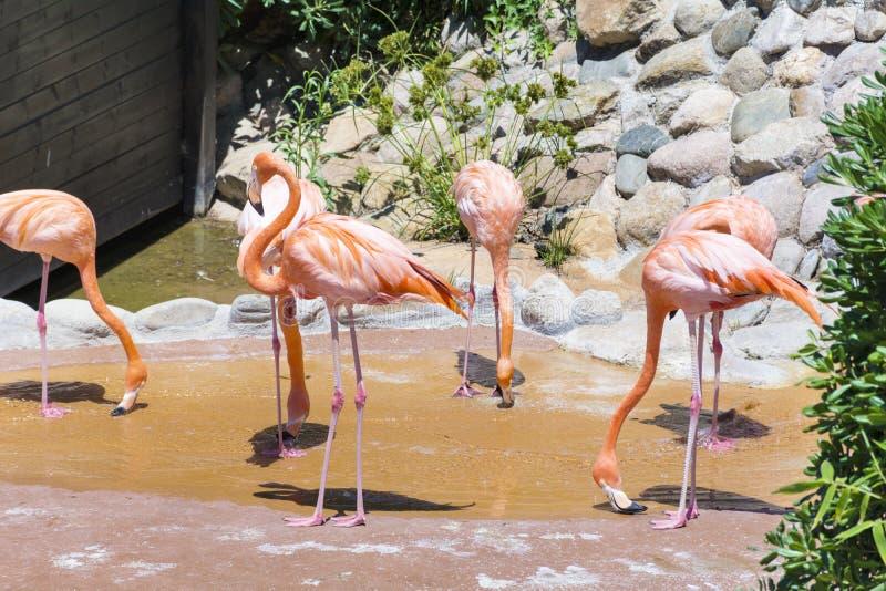 Pájaros rosados del flamenco fotografía de archivo