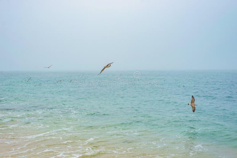 Pájaros salvajes de la gaviota que vuelan y que buscan la comida sobre el agua del océano del mar fotografía de archivo libre de regalías