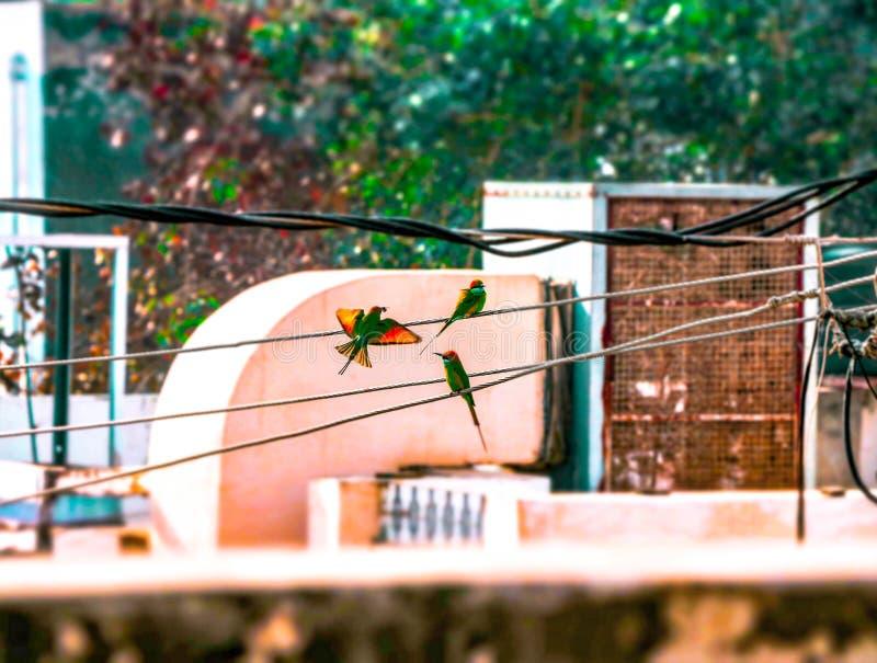 Pájaros verdes del comedor de abeja en el alambre fotografía de archivo
