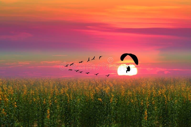 pájaros voladores y paramotor de silueta sobre el campo del cáñamo solar fotos de archivo