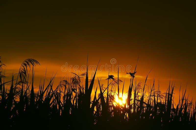 Pájaros y cañas en luz de la puesta del sol imagen de archivo