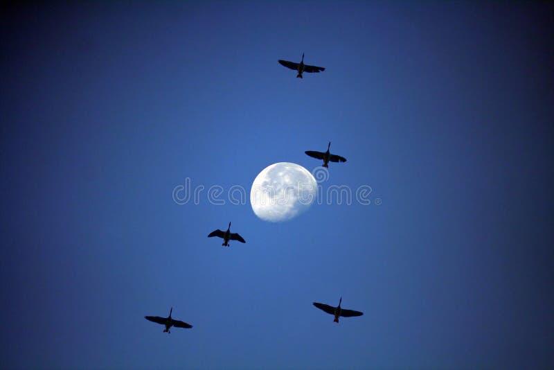 Pájaros y luna fotografía de archivo