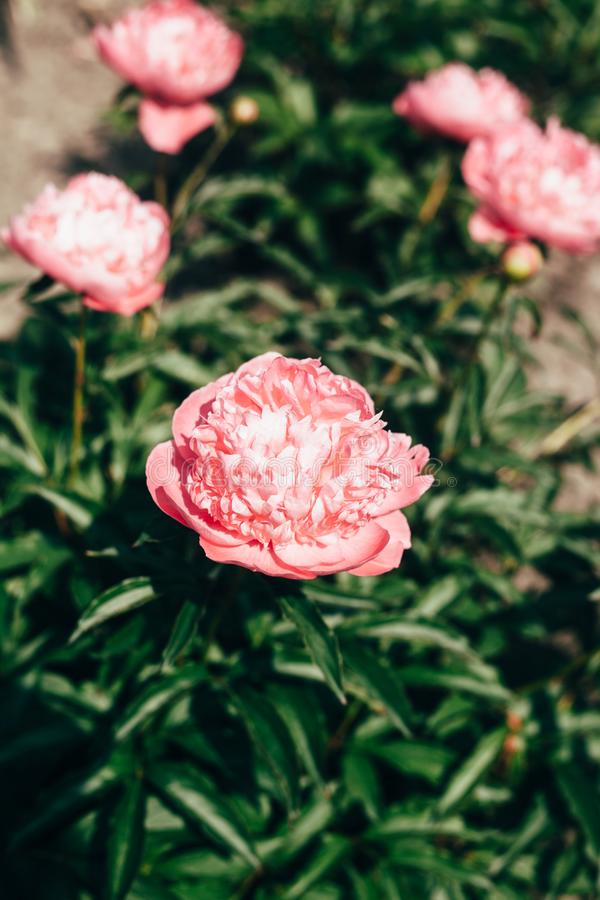 Pálido bonito - flores cor-de-rosa da peônia próximas acima do crescimento no jardim Cores desvanecidas fotografia de stock