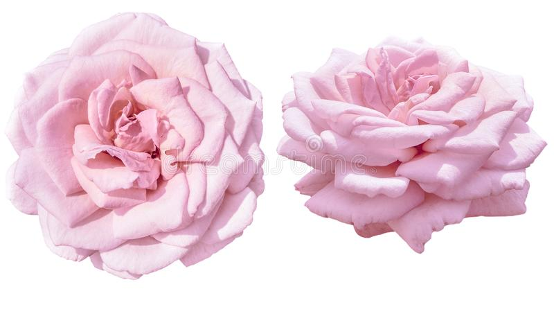Pálido bonito - rosa cor-de-rosa isolada em branco no proection dois foto de stock royalty free