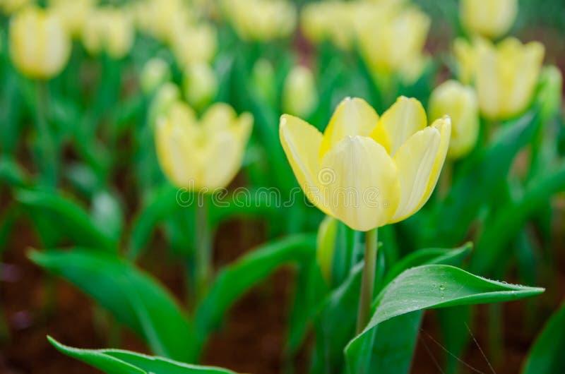Pálido - campo amarelo das tulipas foto de stock