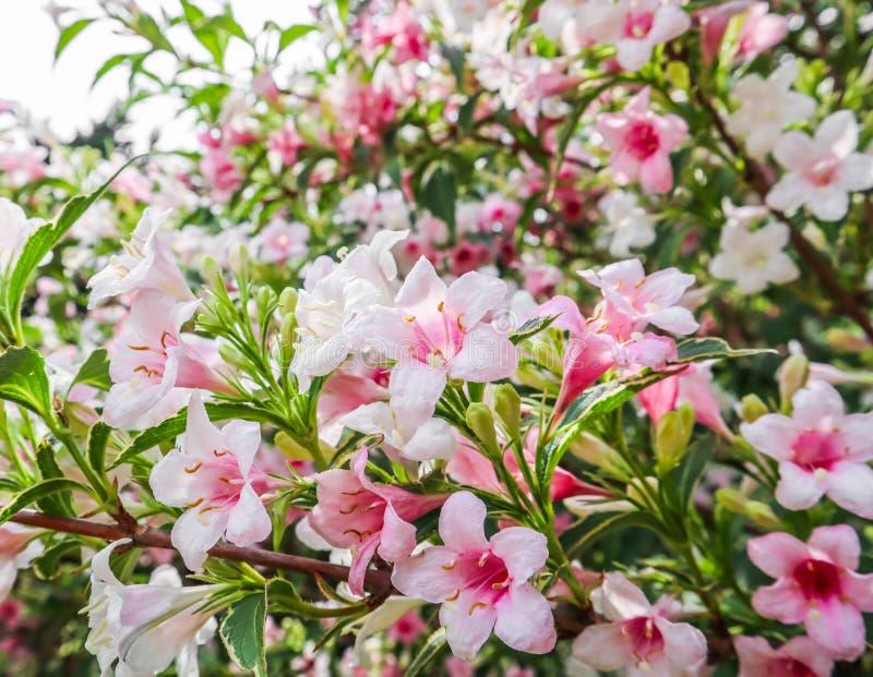 Pálido - flores cor-de-rosa do Weigela Florida Variegata Fundo floral fotos de stock royalty free