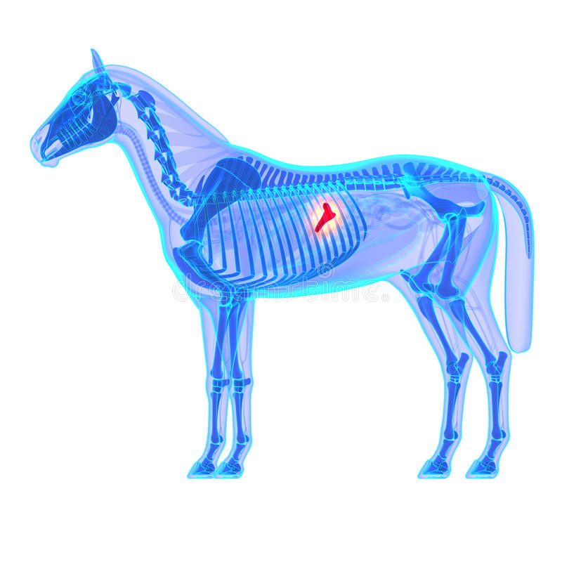 Páncreas Del Caballo - Anatomía Del Equus Del Caballo - Aislado En ...