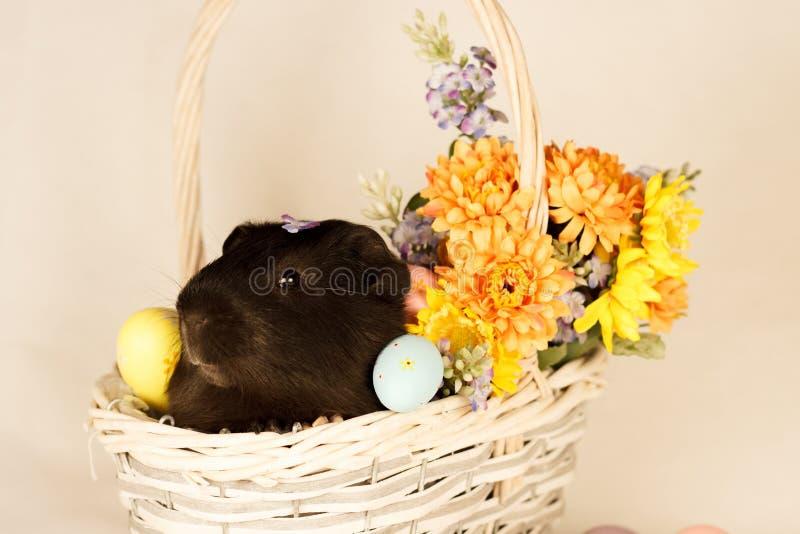 Páscoa feliz da cobaia com ovos fotos de stock royalty free