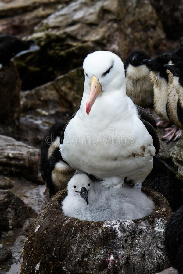 Pássaro adulto do albatroz Preto-sobrancelhudo no ninho da lama e da grama com pintainho macio, viveiro do albatroz e do pinguim, imagens de stock