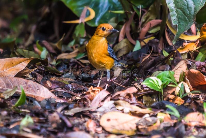 pássaro Alaranjado-dirigido do citrina de Geokichla do tordo imagens de stock royalty free