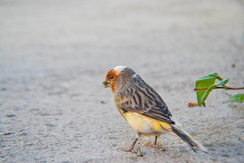 Pássaro alaranjado pequeno fotografia de stock royalty free
