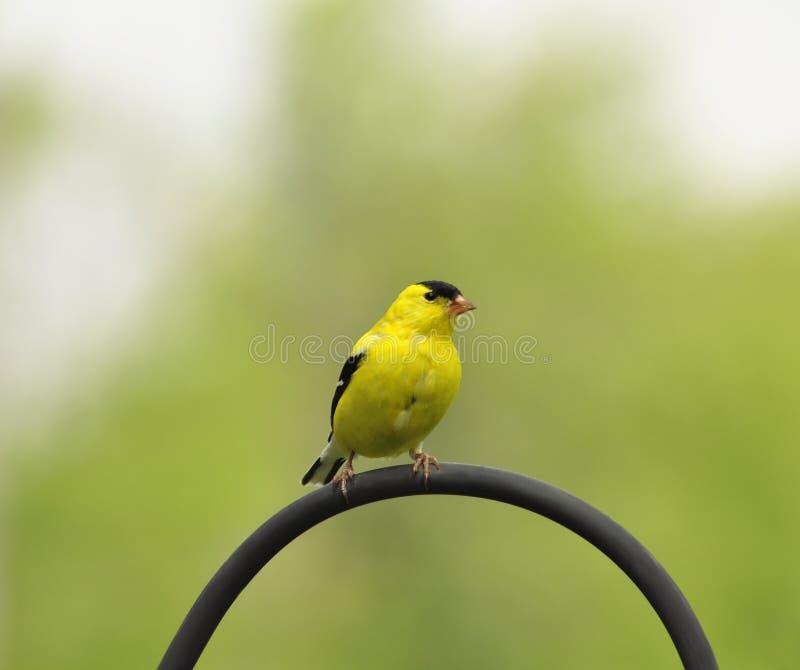 Pássaro amarelo imagens de stock royalty free