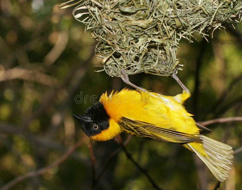 Pássaro amarelo fotos de stock royalty free