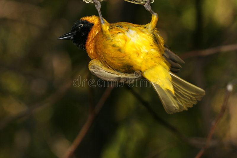 Pássaro amarelo imagens de stock