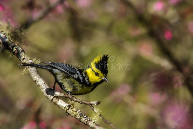 Pássaro amarelo bonito, melharuco amarelo-cheeked & x28; Spilonotus& x29 do Parus; , estando em um ramo fotografia de stock royalty free