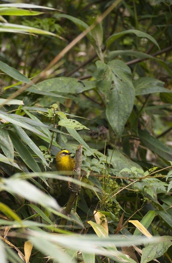 Pássaro amarelo curioso na floresta imagem de stock