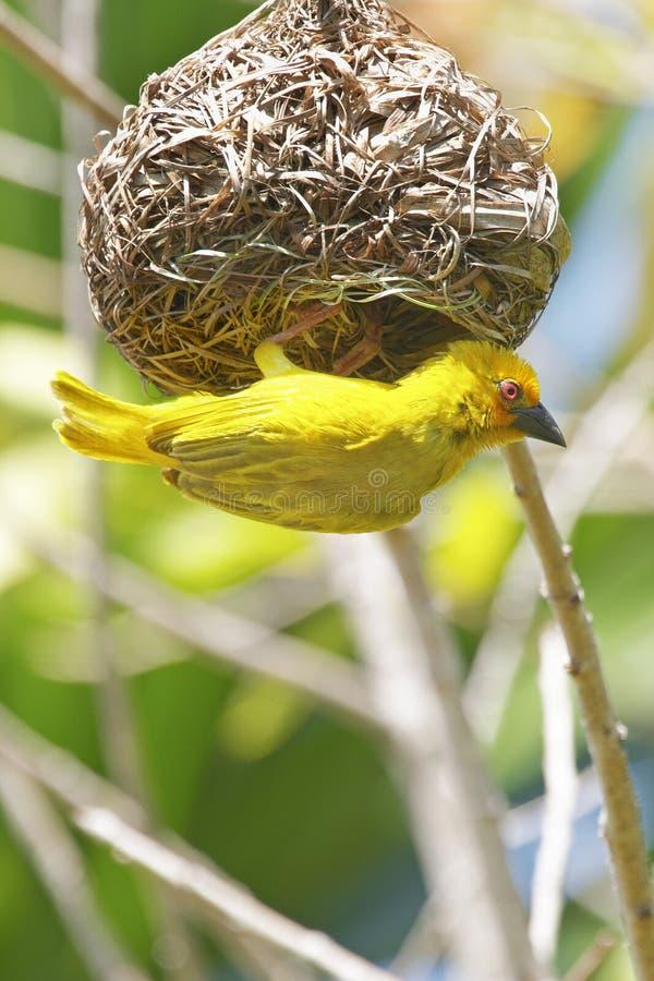 Pássaro amarelo do tecelão que constrói um ninho fotografia de stock royalty free