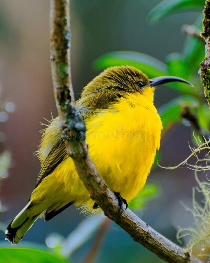 Pássaro amarelo na árvore fotos de stock royalty free
