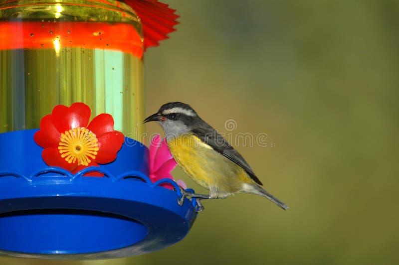 Pássaro amarelo no alimentador fotografia de stock
