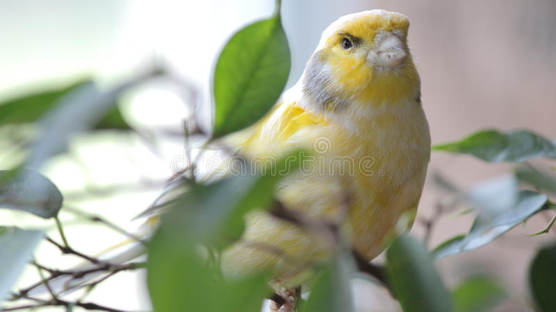 Pássaro amarelo no aviário de Kindgom do pássaro em Niagara Falls, Canadá Version-1 imagens de stock