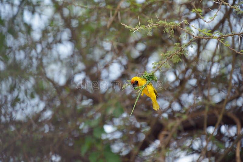 Pássaro amarelo pequeno foto de stock