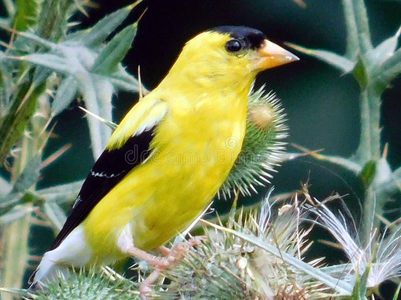 Pássaro amarelo pequeno em uma planta fotografia de stock royalty free