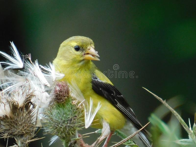 Pássaro amarelo pequeno em uma planta foto de stock