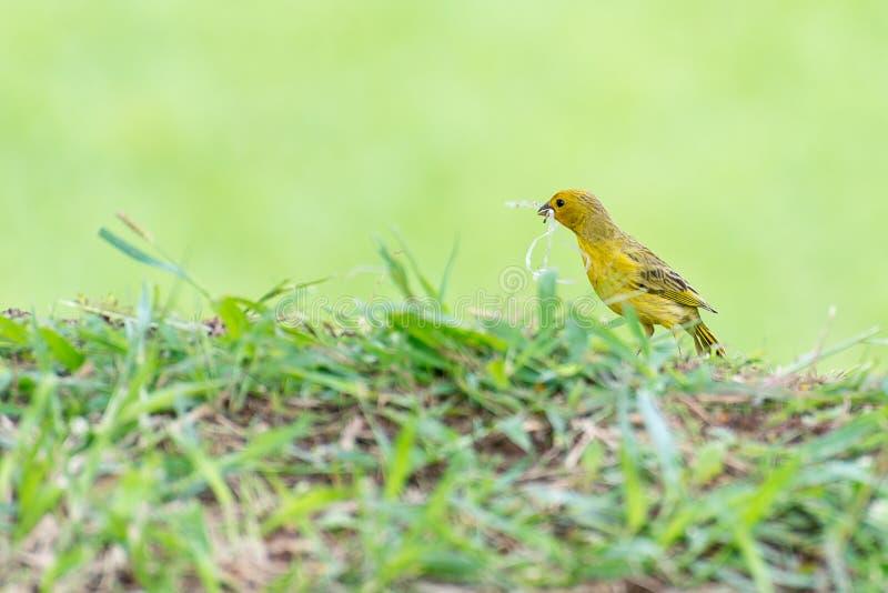 Pássaro amarelo pequeno que guarda plástico com o bico imagens de stock