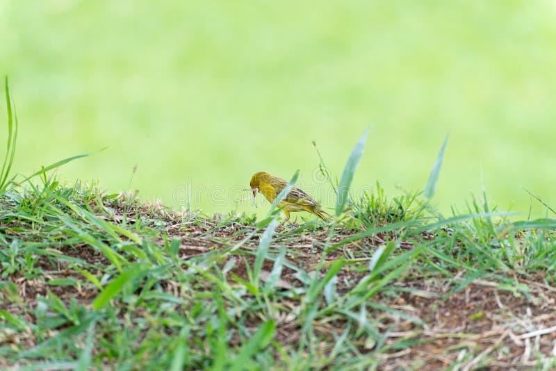 Pássaro amarelo pequeno que guarda plástico com o bico fotos de stock royalty free