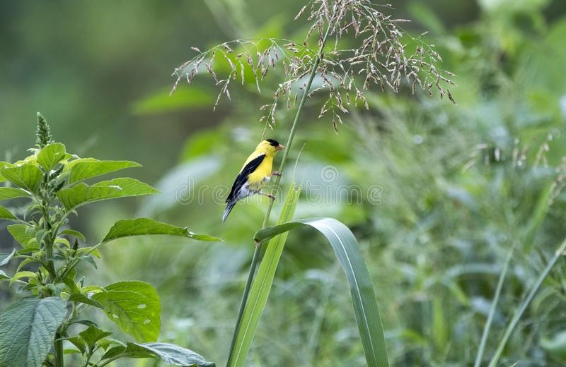 Pássaro americano do pintassilgo, Walton County GA imagens de stock royalty free