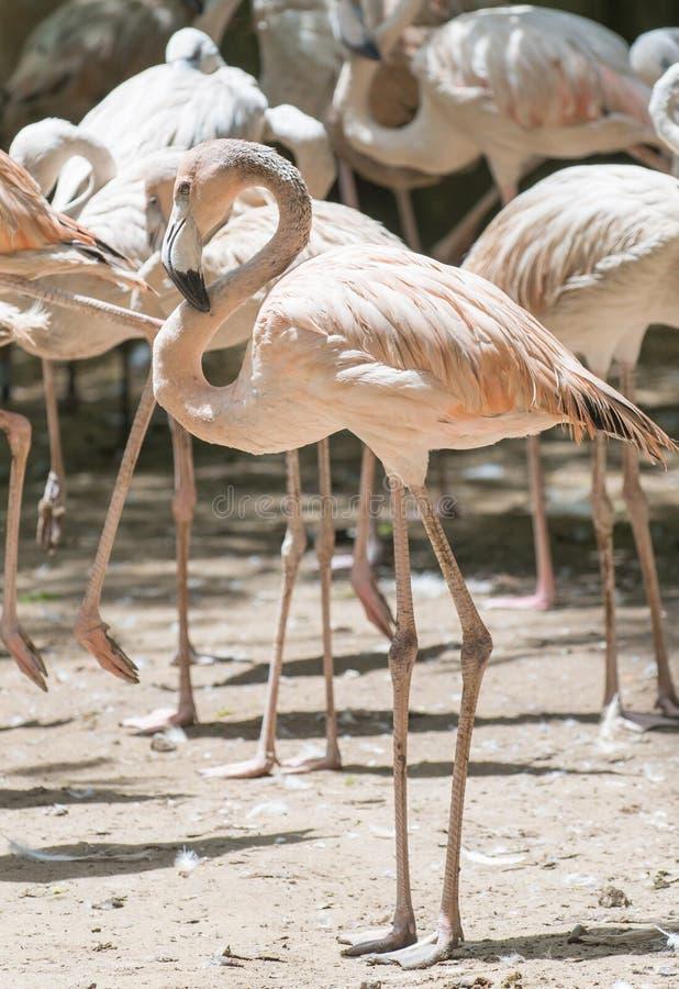 Pássaro aquático do flamingo fotos de stock