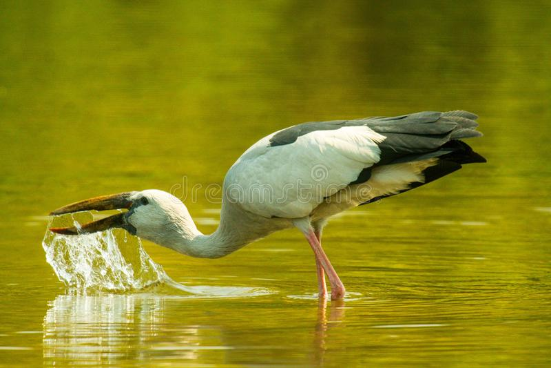 Pássaro asiático da cegonha de Openbill foto de stock royalty free