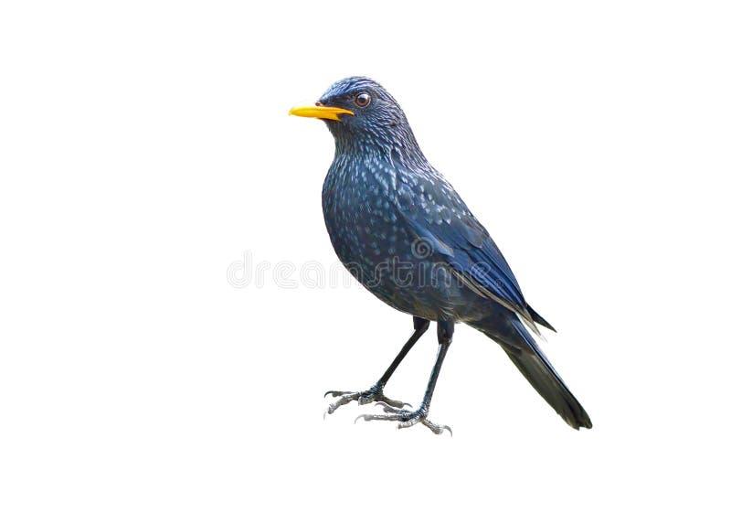 Pássaro (Assobiar-tordo azul) isolado no fundo branco fotografia de stock