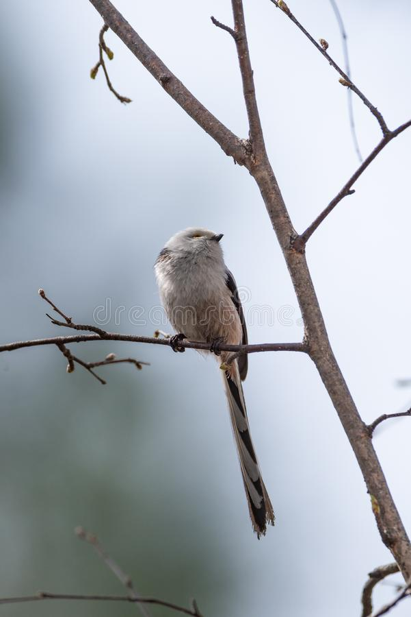 Pássaro atado longo do melharuco foto de stock royalty free