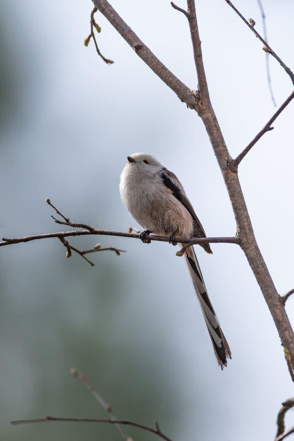 Pássaro atado longo do melharuco imagens de stock