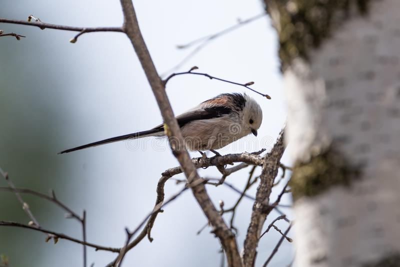 Pássaro atado longo do melharuco fotos de stock royalty free