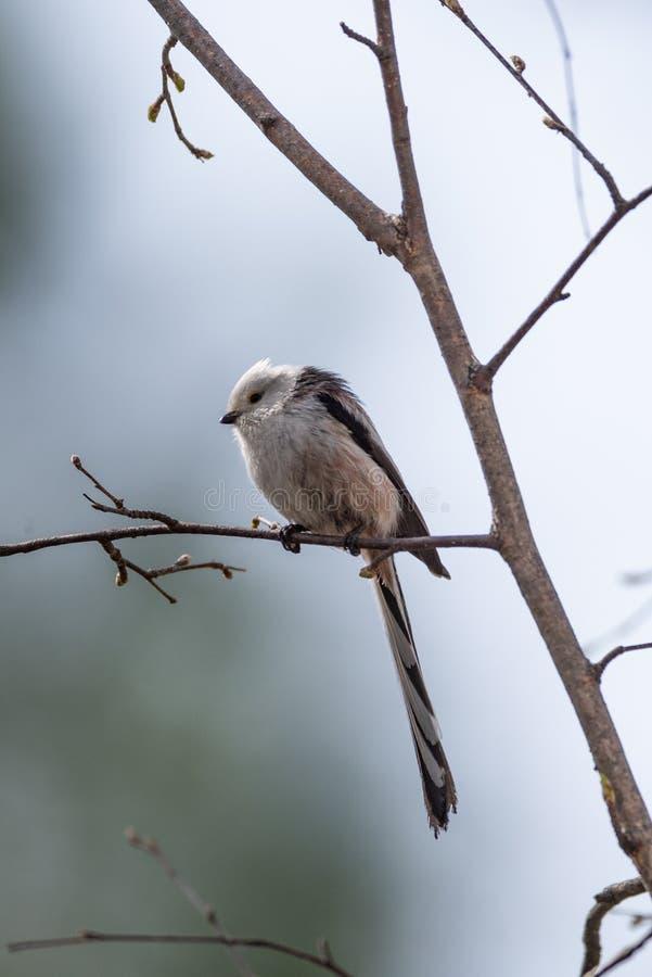 Pássaro atado longo do melharuco fotografia de stock