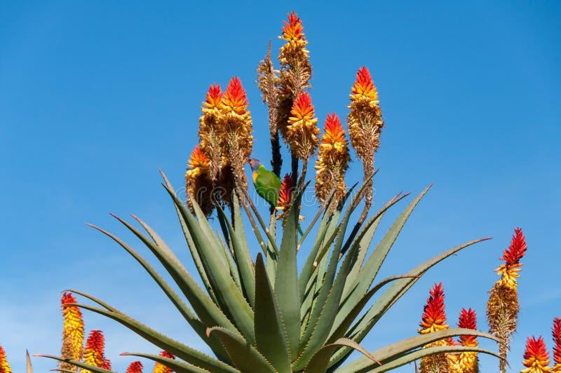 Pássaro australiano do lorikeet do arco-íris que come o néctar das flores do aloés foto de stock royalty free