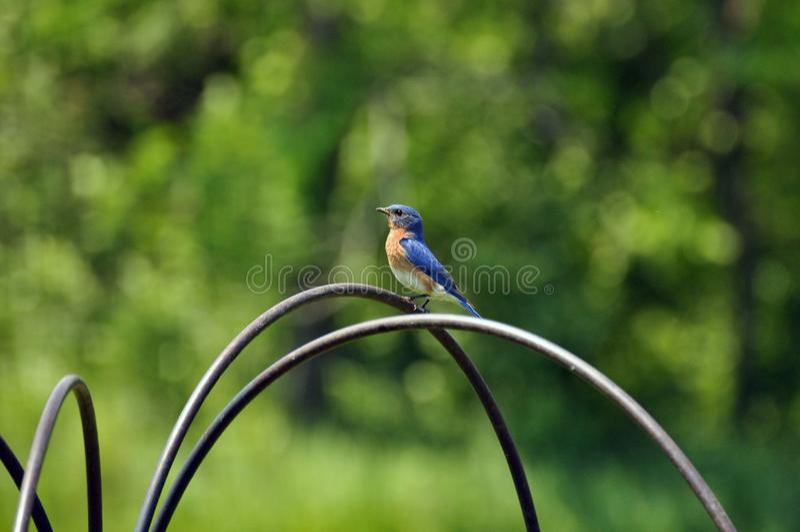 Pássaro azul imagem de stock