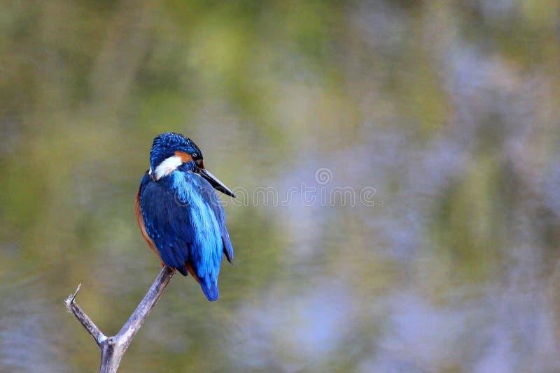 Pássaro azul comum do martinho pescatore, Ranthambore, Índia fotos de stock