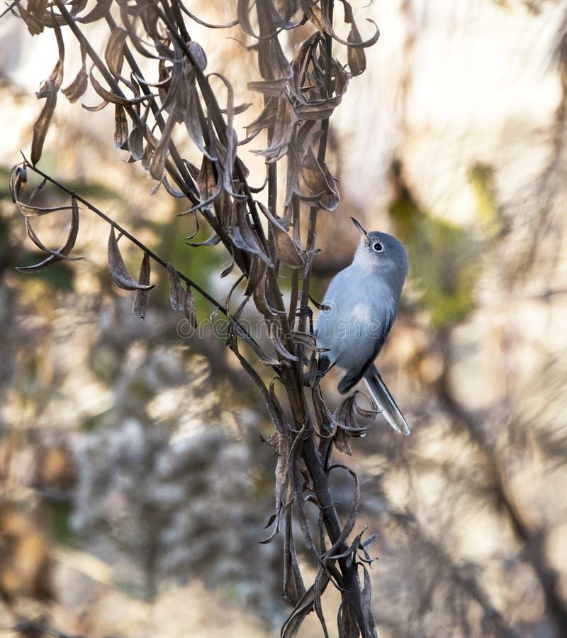 Pássaro azul de Gray Gnatcatcher na folha do outono da queda, Geórgia imagens de stock royalty free