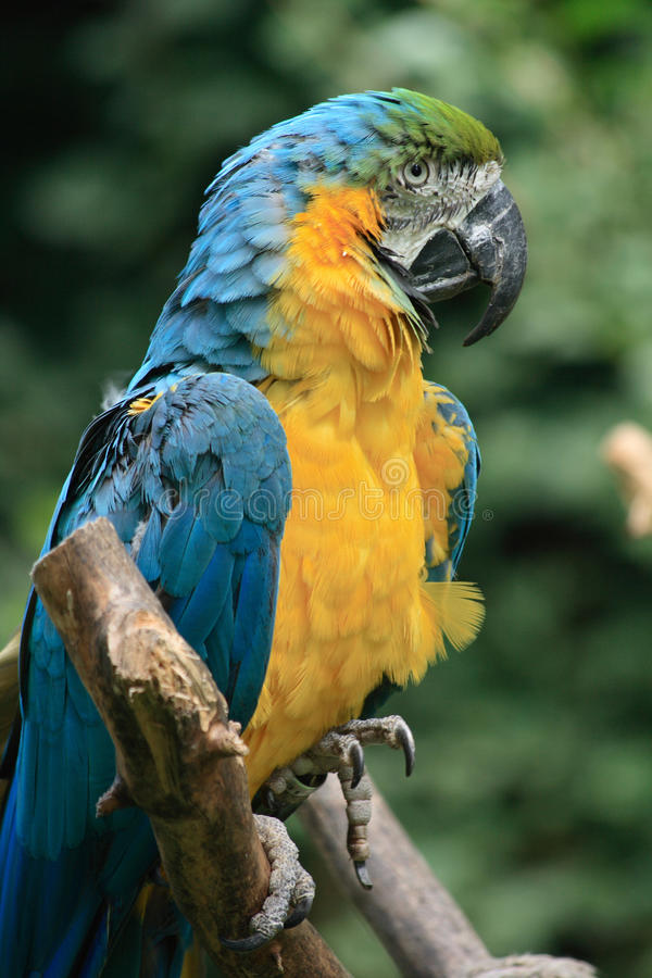 Download Pássaro azul do ara foto de stock. Imagem de front, expressive - 12807168