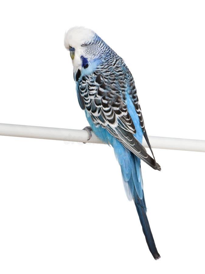 Pássaro azul do Budgerigar na frente do fundo do wite imagens de stock